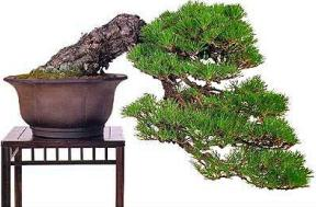 bonsai tree in container